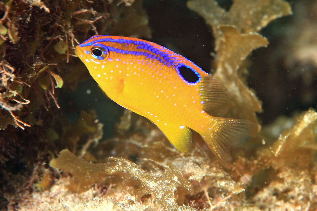 know any bounds?  Juvenile Longfin Damselfish